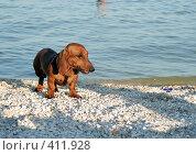 Купить «Такса на пляже», фото № 411928, снято 10 июля 2007 г. (c) A Челмодеев / Фотобанк Лори