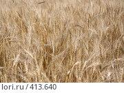 Пшеница. Стоковое фото, фотограф Голофеева Галина / Фотобанк Лори