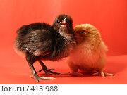 Купить «Цыплята - Два друга - черный и желтый на красном фоне», фото № 413988, снято 19 апреля 2007 г. (c) Василий Вишневский / Фотобанк Лори