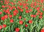 Красные тюльпаны, фото № 414816, снято 30 апреля 2008 г. (c) Елена Завитаева / Фотобанк Лори