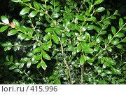 Купить «Молодое самшитовое дерево», фото № 415996, снято 15 августа 2008 г. (c) Мажугин Алексей / Фотобанк Лори