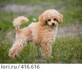 Купить «Щенок собаки породы той-пудель», эксклюзивное фото № 416616, снято 17 июня 2008 г. (c) Алексей Бок / Фотобанк Лори