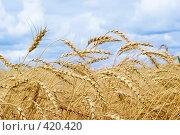 Купить «Поле пшеницы», фото № 420420, снято 29 июля 2008 г. (c) Triff / Фотобанк Лори