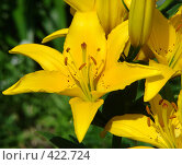Купить «Желтая лилия», фото № 422724, снято 3 марта 2007 г. (c) Александр Висляев / Фотобанк Лори
