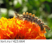 Купить «Гусеница на цветке», фото № 423664, снято 30 июля 2005 г. (c) Фёдоров Дмитрий / Фотобанк Лори