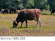 Купить «Корова пасется на лугу», фото № 426332, снято 13 августа 2008 г. (c) Иван Мельниченко / Фотобанк Лори