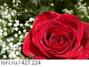 Купить «Красная роза в окружении гипсофилы», фото № 427224, снято 2 июня 2008 г. (c) Ольга Хорькова / Фотобанк Лори