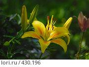 Купить «Лилия Азиатская желтая», фото № 430196, снято 27 июля 2008 г. (c) Игорь Качан / Фотобанк Лори