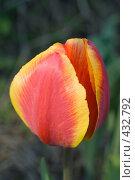Купить «Цветок красно-желтого тюльпана в саду», фото № 432792, снято 3 мая 2008 г. (c) Алексей Бок / Фотобанк Лори