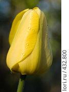 Купить «Капли дождя на тюльпане», фото № 432800, снято 3 мая 2008 г. (c) Алексей Бок / Фотобанк Лори