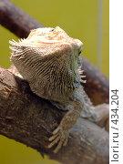 Купить «Бородатая агама (Pogona vitticeps)», фото № 434204, снято 9 июня 2008 г. (c) Parmenov Pavel / Фотобанк Лори
