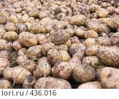 Купить «Русские национальные забавы. Копка картофеля», фото № 436016, снято 31 августа 2008 г. (c) Ирина Солошенко / Фотобанк Лори
