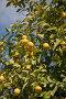 Лимонное дерево.Греция., фото № 441052, снято 12 марта 2008 г. (c) Gagara / Фотобанк Лори