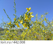 Купить «Цветущий караганник (желтая акация)», фото № 442008, снято 4 июня 2008 г. (c) Виталий Матонин / Фотобанк Лори
