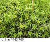 Купить «Атрих, или атрихум волнистый — Atrichum undulatum», фото № 443760, снято 29 июля 2008 г. (c) Заноза-Ру / Фотобанк Лори