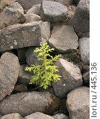 Купить «Ёлочка, растущая на камнях. Валаам.», фото № 445136, снято 6 августа 2008 г. (c) Заноза-Ру / Фотобанк Лори