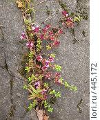 Купить «Цветы, растущие на скалах. Валаам.», фото № 445172, снято 6 августа 2008 г. (c) Заноза-Ру / Фотобанк Лори