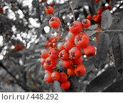 Купить «Ягоды Рябины», фото № 448292, снято 23 августа 2008 г. (c) Андрей / Фотобанк Лори