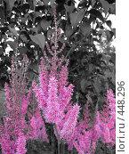 Купить «Астильба и куст Сирени», фото № 448296, снято 23 августа 2008 г. (c) Андрей / Фотобанк Лори