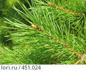 Купить «Ветка сосны», фото № 451024, снято 4 сентября 2008 г. (c) Елена Завитаева / Фотобанк Лори