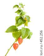 Купить «Фонарики физалиса (китайские фонарики), ветка целиком, изолированное изображение», фото № 452256, снято 10 сентября 2008 г. (c) Tamara Kulikova / Фотобанк Лори