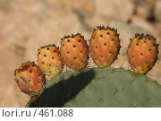 Купить «Пять оранжевых кактусов на одном большом кактусе», фото № 461088, снято 7 января 2008 г. (c) Уткин Валерий / Фотобанк Лори
