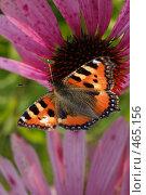 Купить «Бабочка на цветке», фото № 465156, снято 6 сентября 2008 г. (c) Сергей Пестерев / Фотобанк Лори