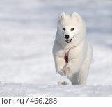 Купить «Самоедская ездовая собака - белоснежное чудо Севера», фото № 466288, снято 29 марта 2008 г. (c) Абрамова Ксения / Фотобанк Лори
