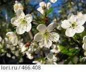 Купить «Цветы яблони», фото № 466408, снято 13 мая 2007 г. (c) Хименков Николай / Фотобанк Лори