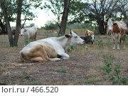 Купить «Коровы, отдыхающие на пастбище», фото № 466520, снято 16 сентября 2008 г. (c) Александр Шутов / Фотобанк Лори