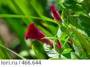 Купить «Красные цветы (целозия) и зеленая трава в саду», фото № 466644, снято 19 августа 2006 г. (c) Роман Бородаев / Фотобанк Лори