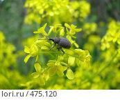Купить «Жук на цветке», фото № 475120, снято 3 июня 2008 г. (c) Максим Рыжов / Фотобанк Лори