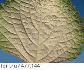 Купить «Плектрантус (plectranthus), лист макро, изнанка», фото № 477144, снято 24 сентября 2008 г. (c) Морковкин Терентий / Фотобанк Лори
