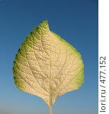Купить «Плектрантус, лист», фото № 477152, снято 24 сентября 2008 г. (c) Морковкин Терентий / Фотобанк Лори