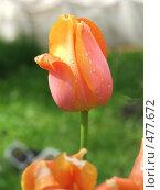 Розовый тюльпан. Стоковое фото, фотограф Elena Anisimova / Фотобанк Лори
