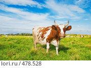 Корова пасется на зеленом лугу. Стоковое фото, фотограф Евгений Захаров / Фотобанк Лори