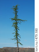 Купить «Одинокое дерево в тундре», фото № 479180, снято 25 июля 2008 г. (c) Уткин Валерий / Фотобанк Лори