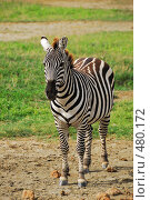 Купить «Зебра», фото № 480172, снято 25 января 2008 г. (c) Знаменский Олег / Фотобанк Лори