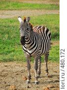 Зебра, фото № 480172, снято 25 января 2008 г. (c) Знаменский Олег / Фотобанк Лори