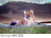 Купить «Красный волк», фото № 481432, снято 26 сентября 2008 г. (c) Сергей Лаврентьев / Фотобанк Лори