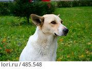 Белая дворняга. Стоковое фото, фотограф Сергей Русаков / Фотобанк Лори