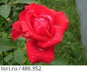 Красная роза. Стоковое фото, фотограф Александр Мещеряков / Фотобанк Лори