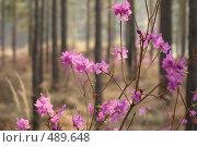 Купить «Цветущий багульник», фото № 489648, снято 16 мая 2008 г. (c) Виталий Попов / Фотобанк Лори