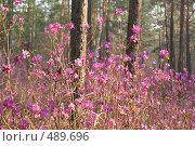 Купить «Цветущий рододендрон даурский в сосновом лесу», фото № 489696, снято 16 мая 2008 г. (c) Виталий Попов / Фотобанк Лори