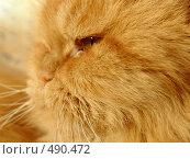 Персидский красный кот. Стоковое фото, фотограф ElenArt / Фотобанк Лори