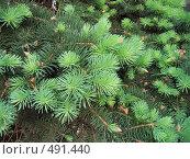 Купить «Ветки хвойного дерева с молодыми побегами», фото № 491440, снято 23 мая 2007 г. (c) Dina / Фотобанк Лори