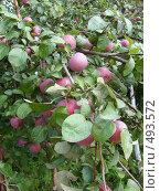 Купить «Созревают яблоки», фото № 493572, снято 20 августа 2006 г. (c) Римма Радшун / Фотобанк Лори