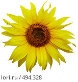 Купить «Цветок подсолнуха на белом фоне», фото № 494328, снято 28 августа 2006 г. (c) Александра Стрижева / Фотобанк Лори
