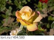 Купить «Бутон розы Gloria Day», фото № 494580, снято 19 августа 2008 г. (c) Константин Чевелёв / Фотобанк Лори