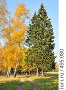 Купить «Березы тянутся к елям», эксклюзивное фото № 495080, снято 5 октября 2008 г. (c) Alexei Tavix / Фотобанк Лори